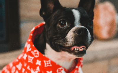 Superlief: ontdek de kleine (of mini) Franse Bulldog