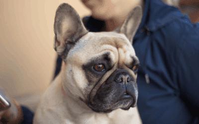 Alles over de Franse bulldog staart