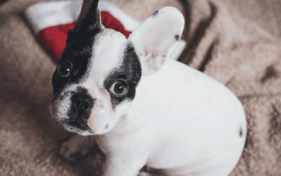 Waarom kiezen voor een Franse bulldog met een lange snuit?