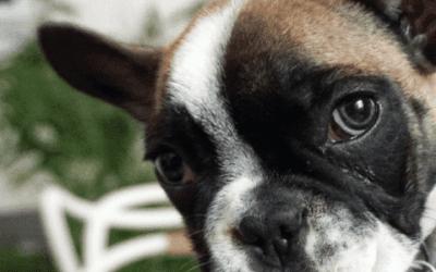 Wil je een Franse Bulldog? Neem er een in het lilac