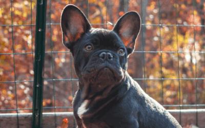 Waarmee houd je rekening als je een Franse Bulldog pup aanschaft?