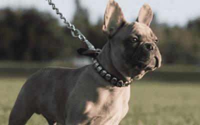 Ultieme gids: een Franse Bulldog (puppy) kopen