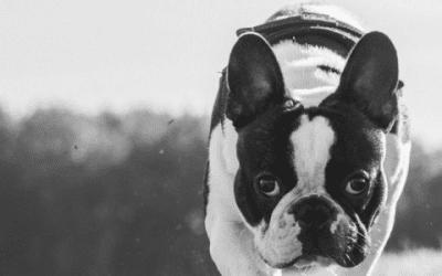 Maak kennis met de Franse Bulldog in het zwart