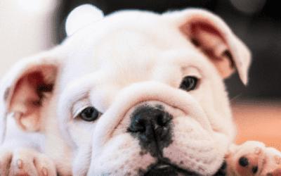 Hoe kun je het beste een Franse Bulldog opvoeden?