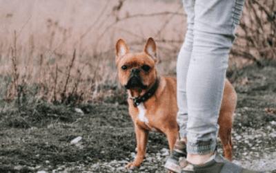 Wat zijn de nadelen van een Franse bulldog?