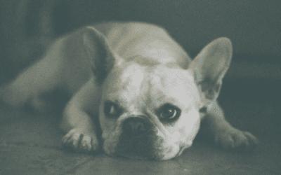 Maak kennis met de Franse Bulldog in het blauw