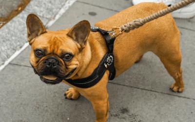 Kies voor een geweldige Franse Bulldog in het fawn